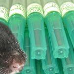 Maus im Labor vor Spritzen