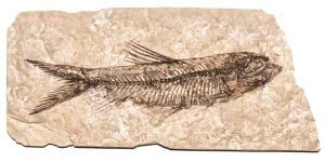 Dinosaurier Fossil