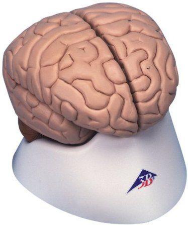 Gehirn Plastik