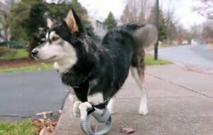 Hund mit Beinprothesen