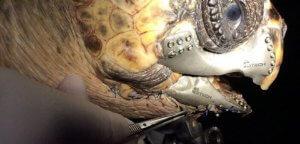 Schildkröte nach der Operation