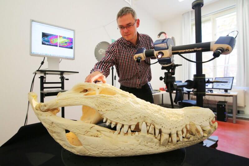 Schädel von Krokodil Max