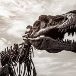 Schädel des Tyrannosaurus Rex