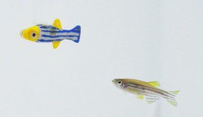 Das Foto zeigt den 3D-gedruckten beweglichen Roboterfisch (links) und einen echten Zebrafisch. (Bild: © NYU Tandon School of Engineering).