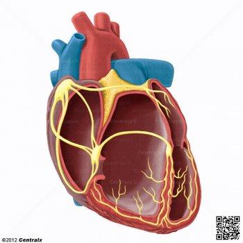Herz Modell.