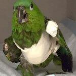 Papagei Behandlung