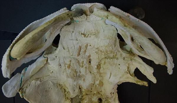 Blick in die Replik des Fischfossils