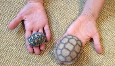 Landschildkröte und Wüstenschildkröte im Vergleich.