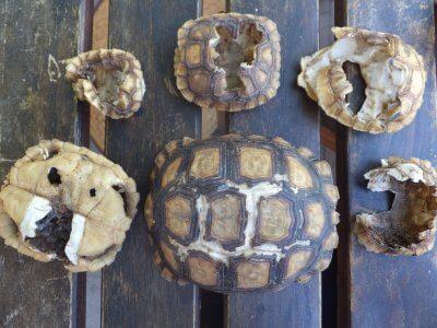 Zerstörte Schildkrötenpanzer.