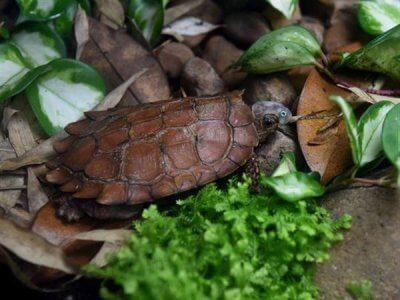 Schwarzbrustschildkröten