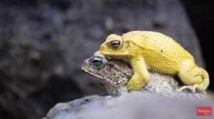 Gelbe Kröten bei der Paarung