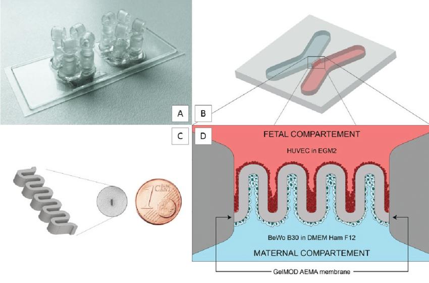 Künstliche Plazenta aus dem 3D-Drucker