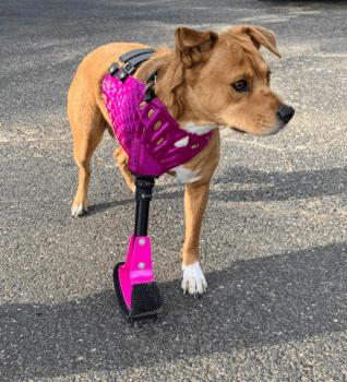 Hund mit Vollgliedprothese