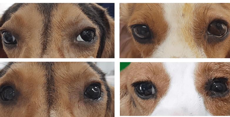 Nahansicht der Beagles mit ihren Augenprothesen nach 3 und 6 Monaten