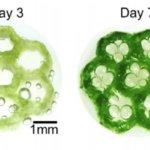 Biogedruckte Chlamydomonas reinhardtii bei 25 Grad Celsius