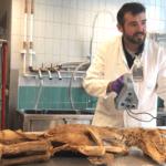 Forscher mit Scanner vor Beutelwolf-Probe