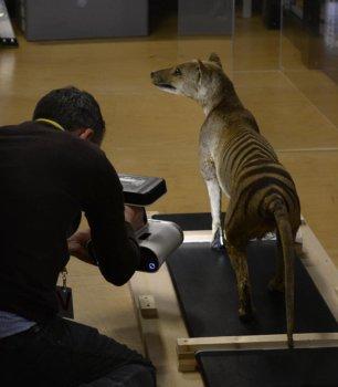 3D-Scan eines Beutelwolf