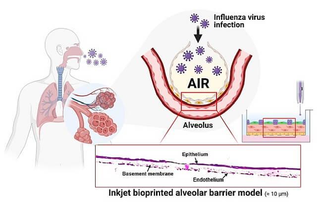 3D-gedrucke Lungenbläschenmembran