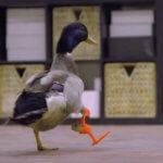 Ente Waddles läuft mit Prothese
